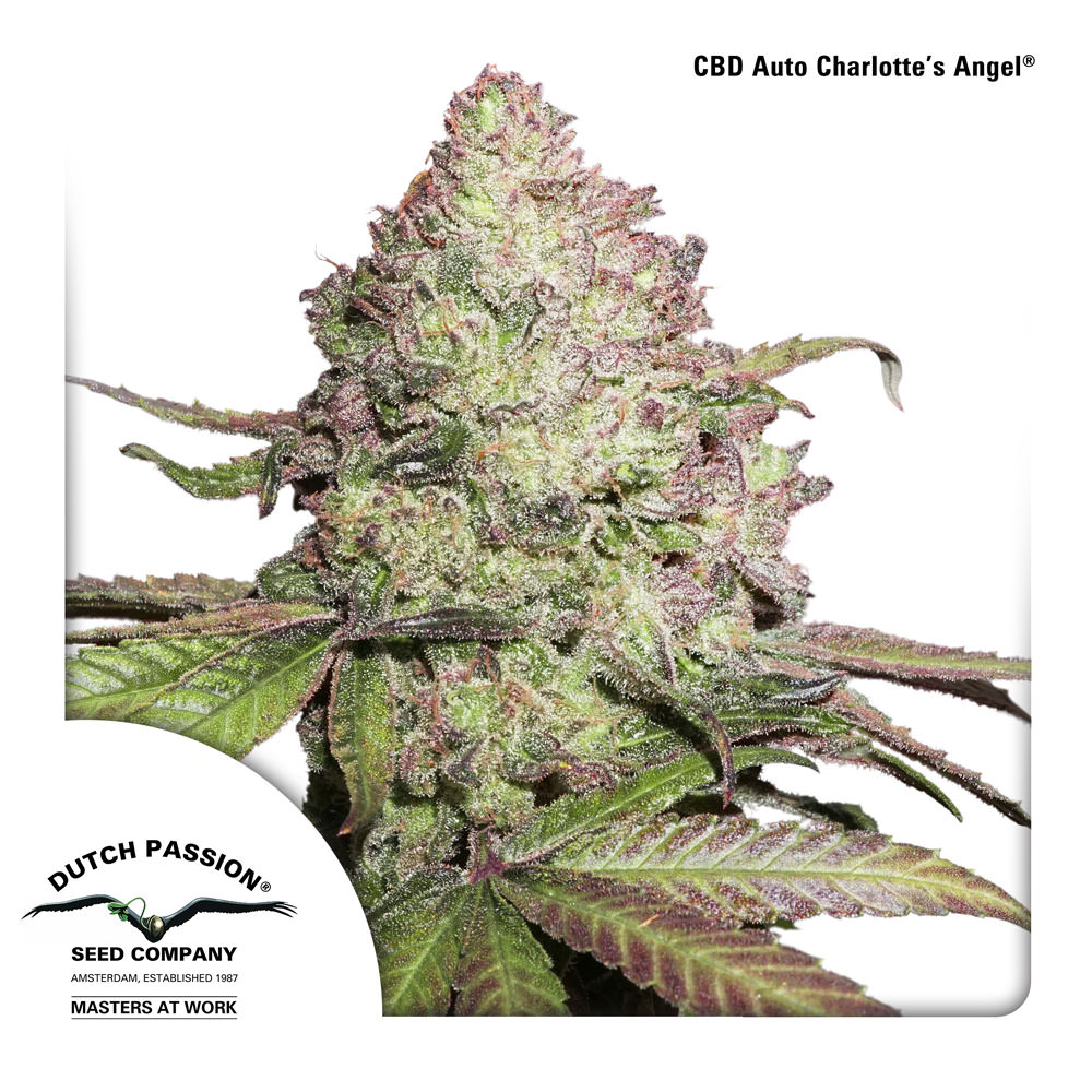 CBD Charlotte's Angel Legal Weed