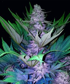 legal weed Auto Jamaica Blue Mountain