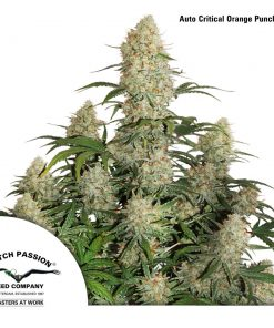 Auto Critical Orange Punch Legal Weed